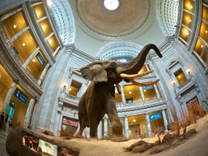 Elephant in the Smithsonian Natural History Museum by Flickr user Don DeBold (CC BY 2.0)
