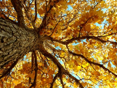 autumn-tree-from-below labeled PD